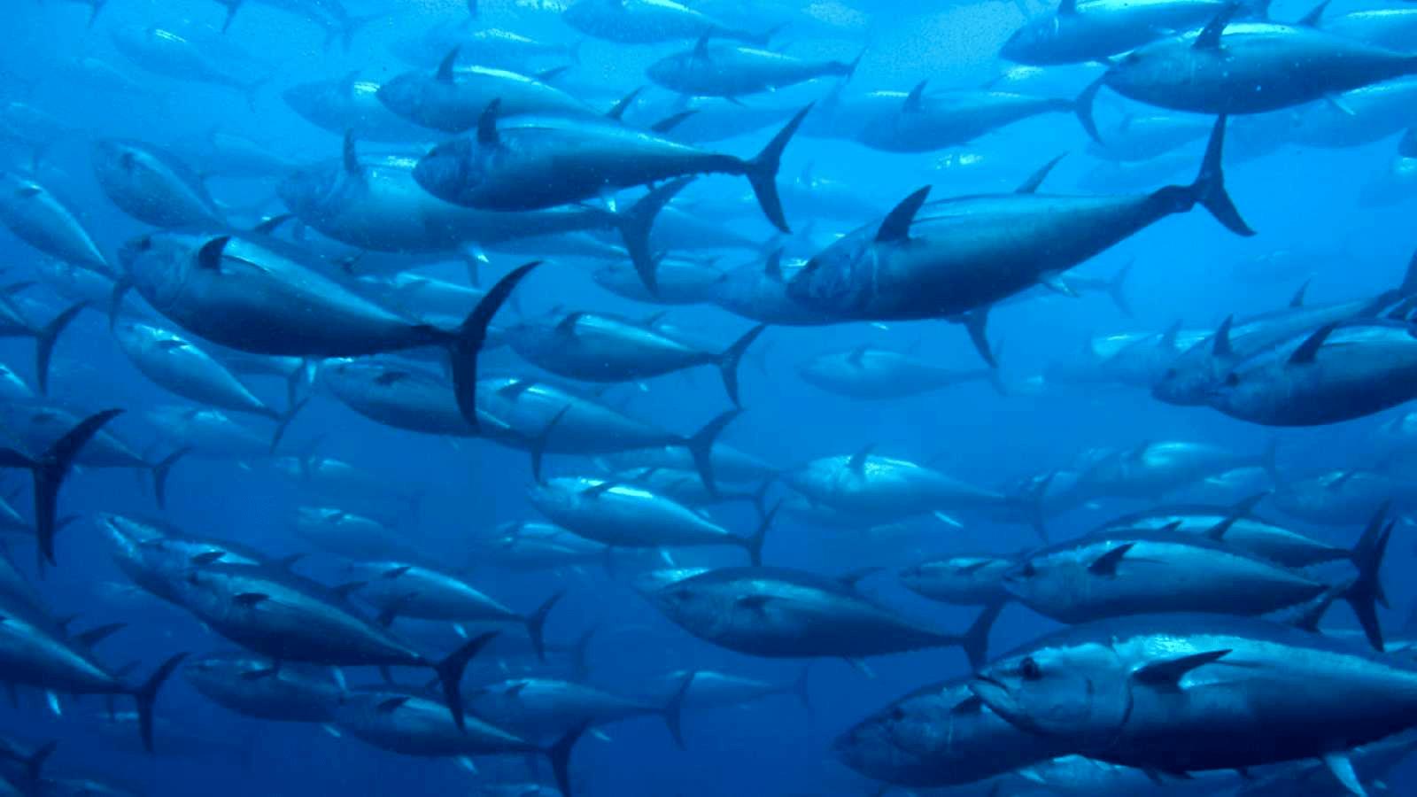 El atún en aguas frías