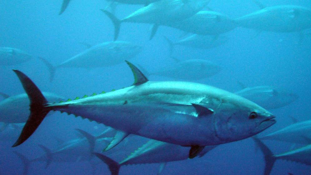 Se puede comer atún de muchas formas