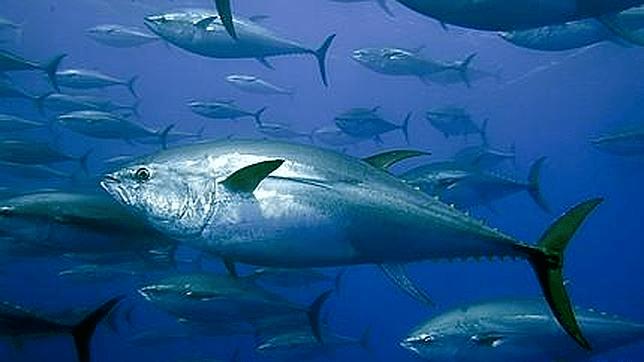 Los atunes son muy veloces