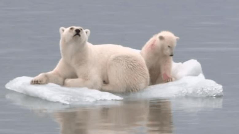 Osos Polares en peligro de extinción