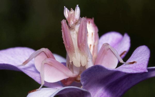 El proceso de mimetización de la mantis