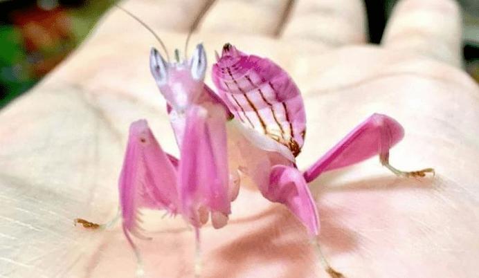 La flexibilidad del cuerpo de la mantis orquídea