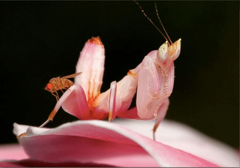 alimento de la mantis orquidea