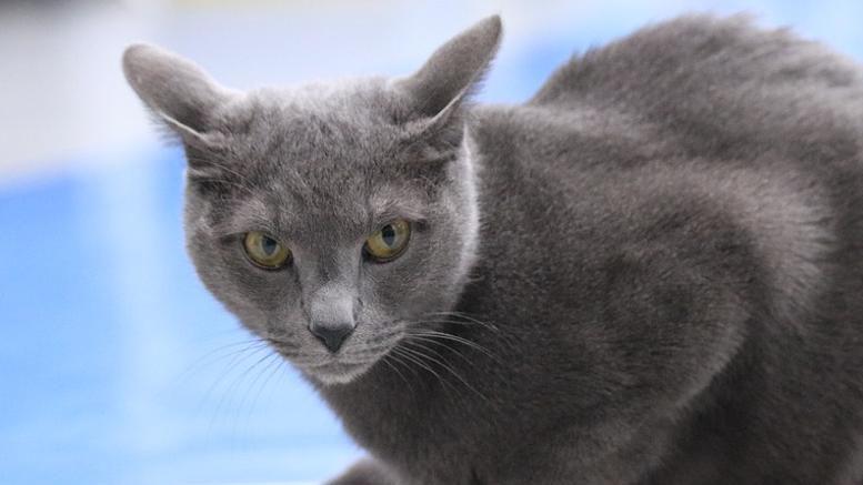 gato ruso azul