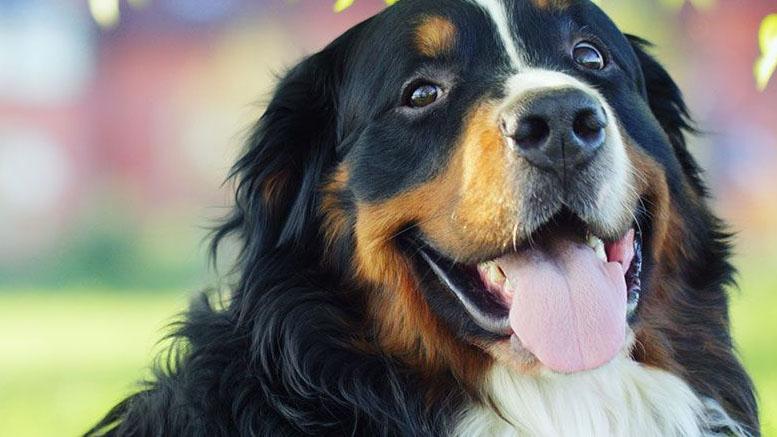 perros de raza grande