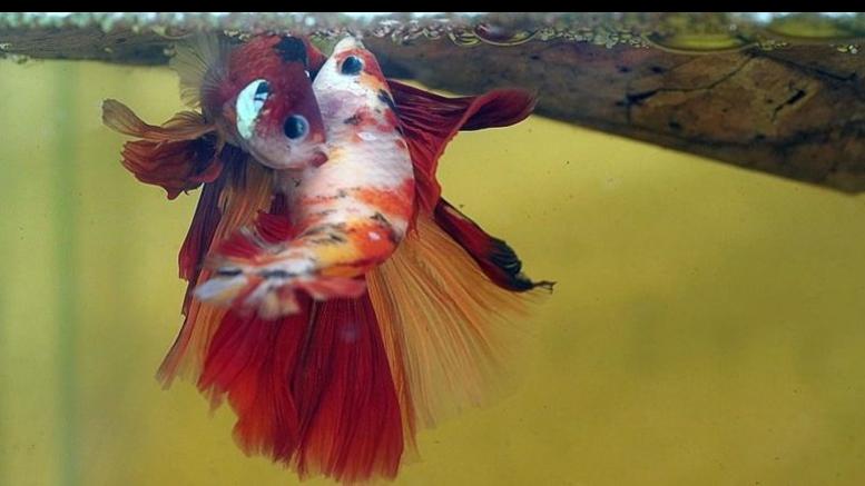 Reproducción de los peces
